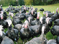 Free range bronze turkey from Brisbourne Geese Nesscliffe near Shrewsbury Shropshire