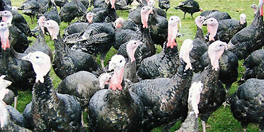 About Brisbourne Shropshire Free Range Bronze Turkeys for Christmas
